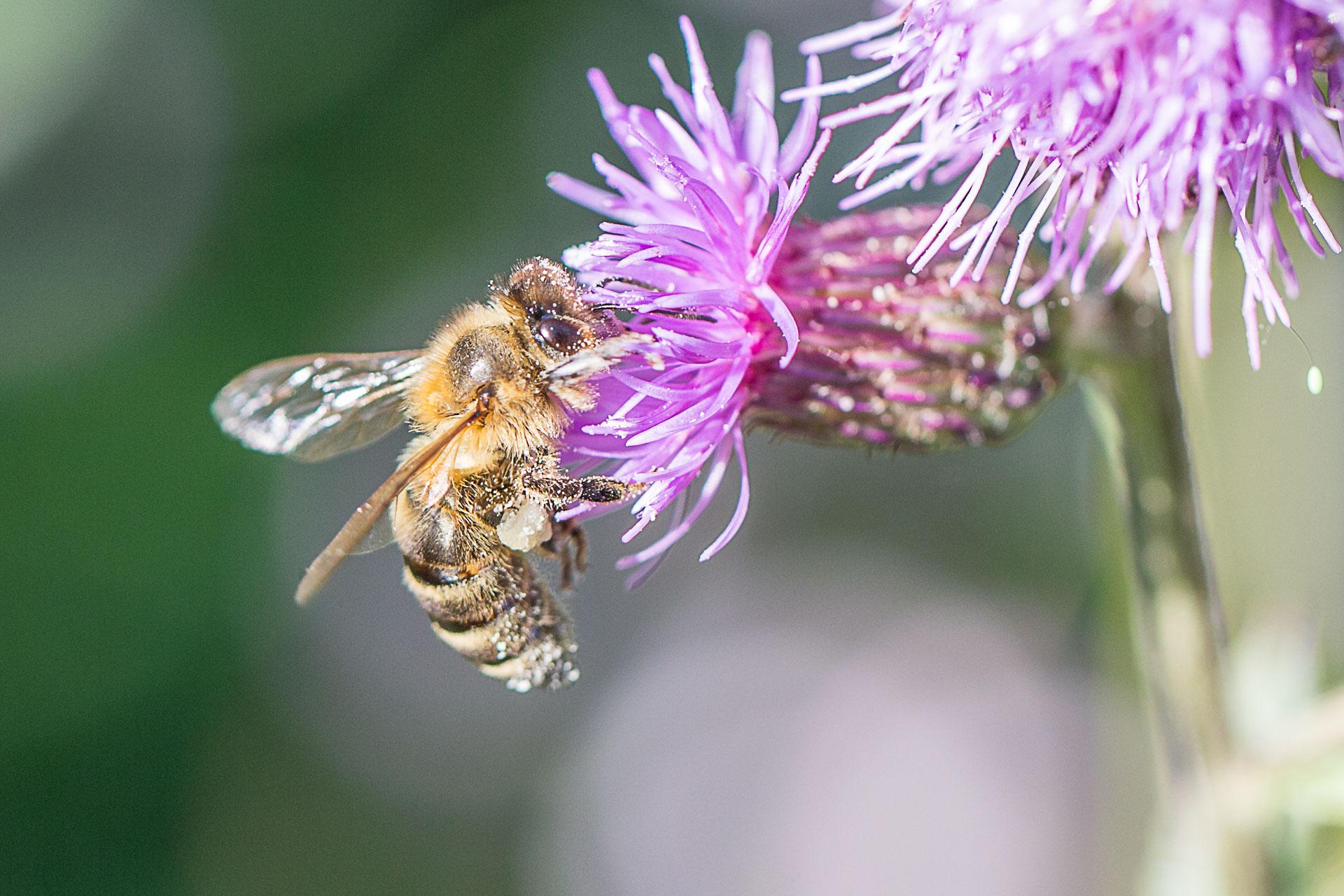 abeille-4