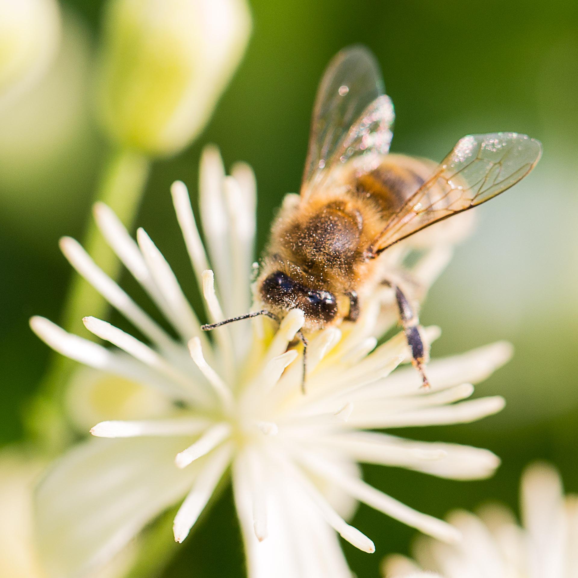 abeille-6