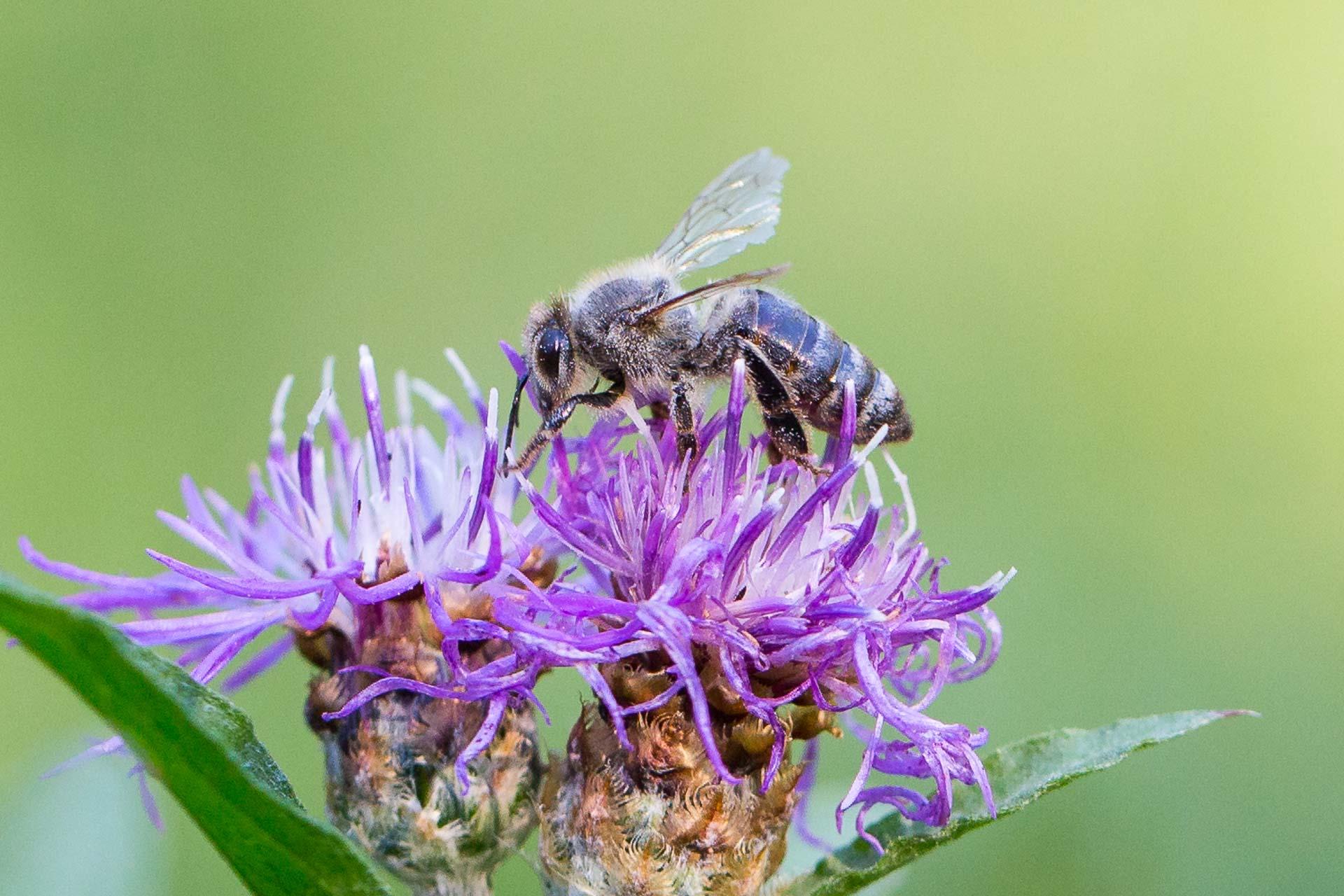 abeille-8