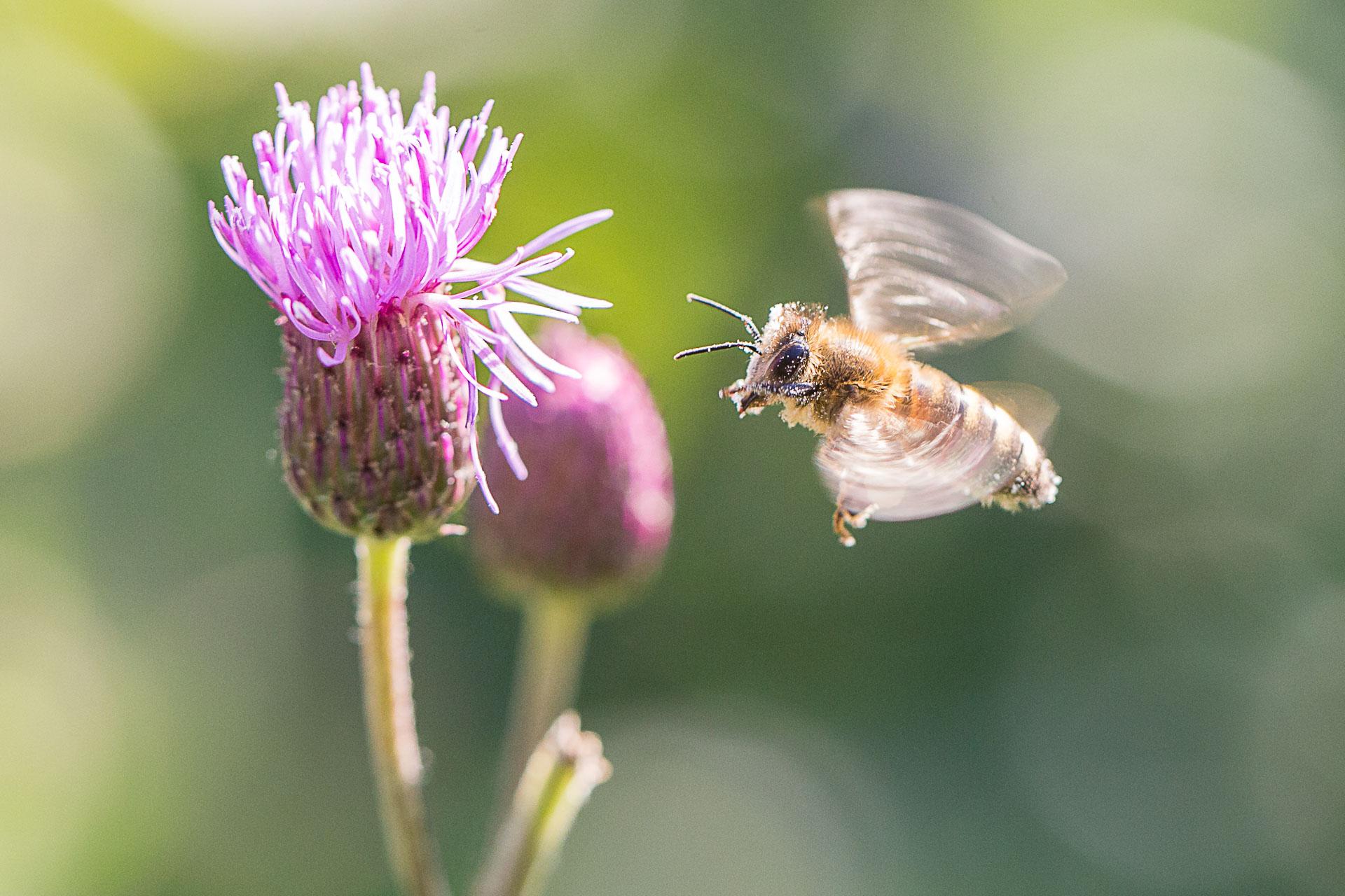 abeille-en-vol