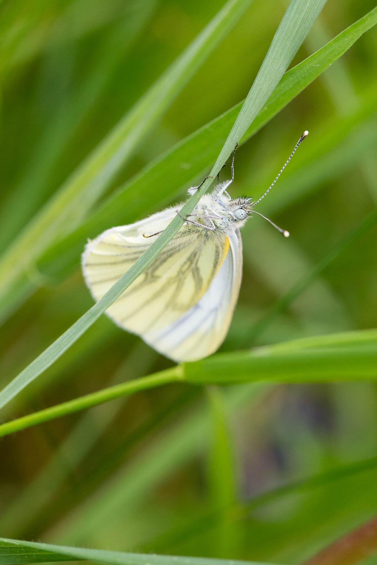 papillon-10