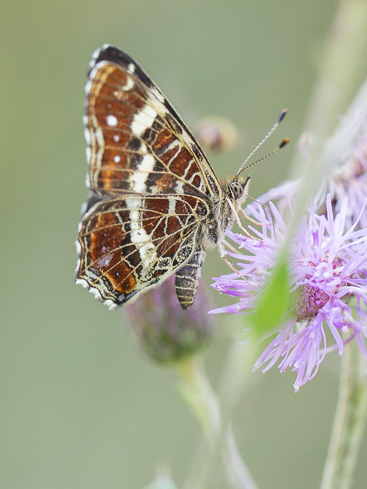 papillon-6