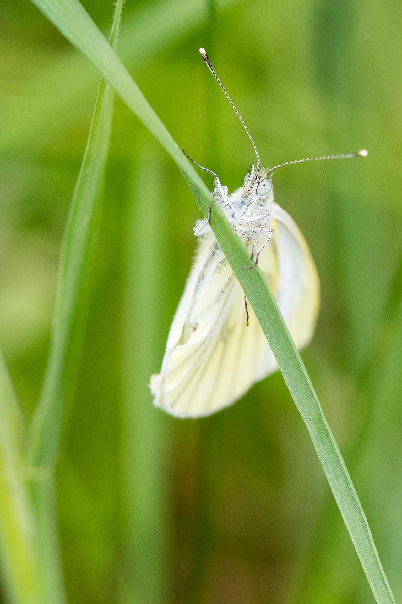 papillon-8