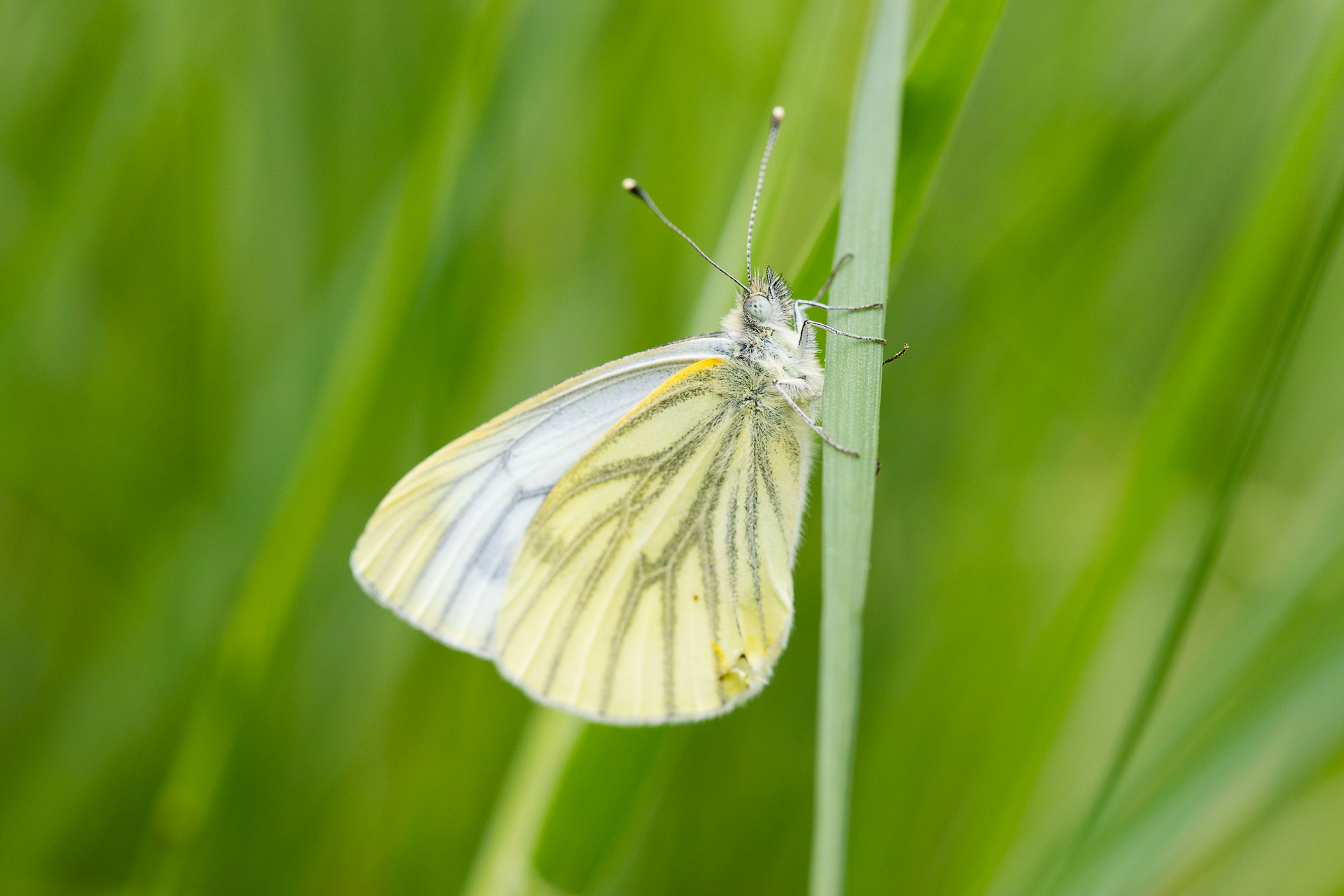 papillon-9