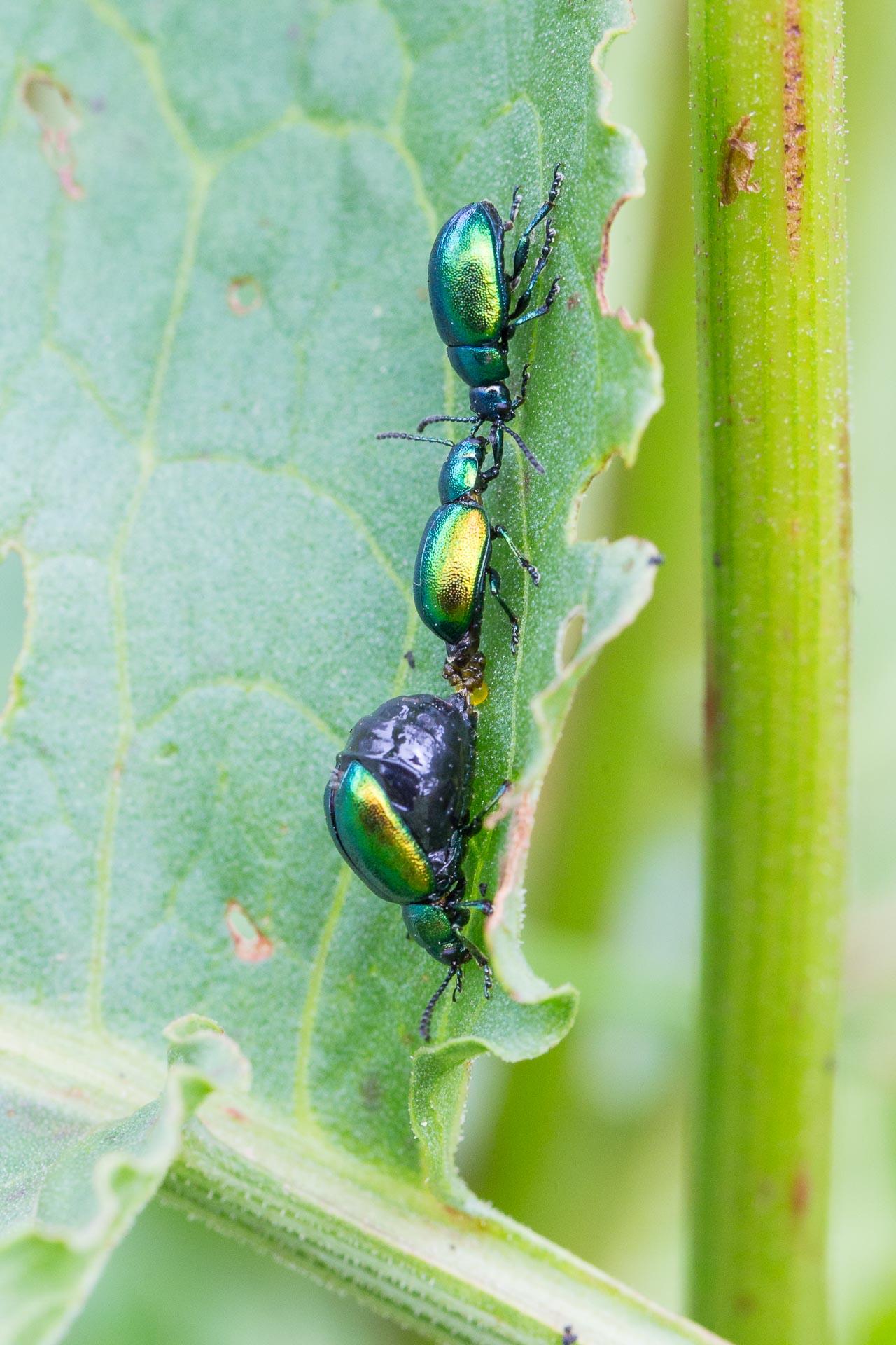 scarabee-4