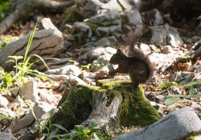 Slovénie: les écureuils s'invitent