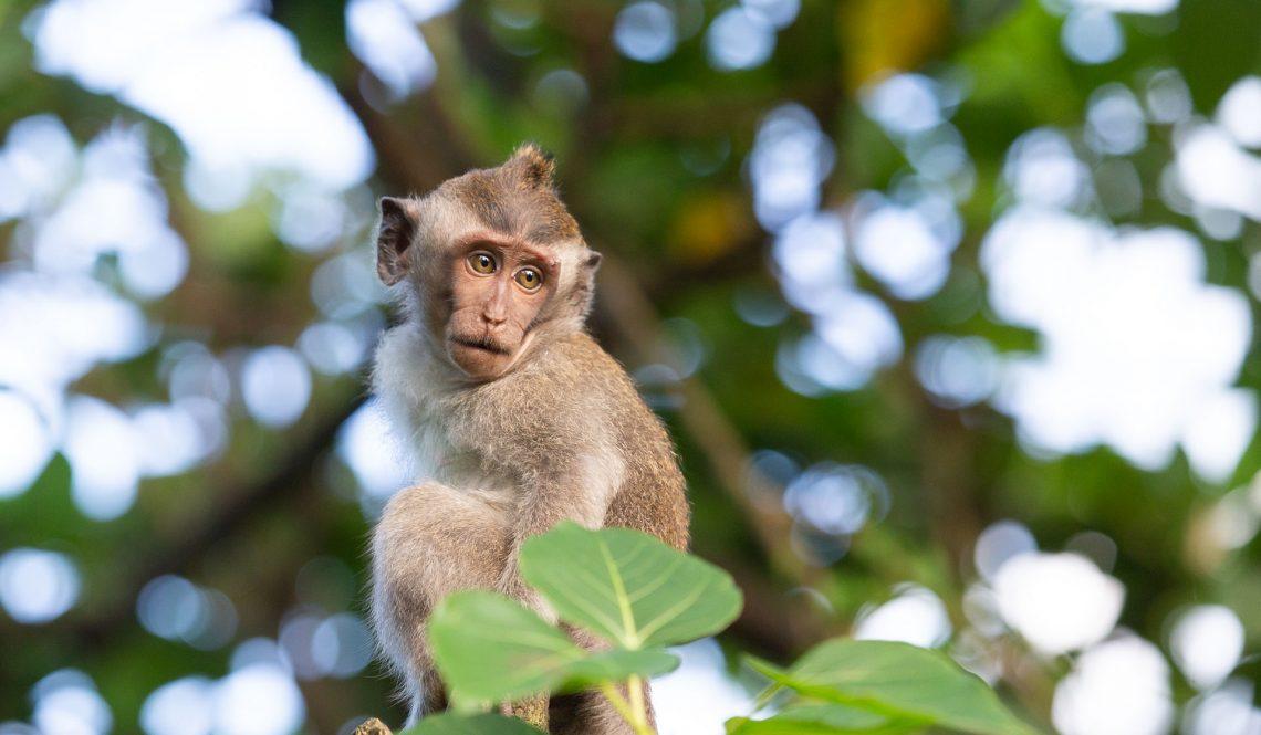 Quelques singes de Bali