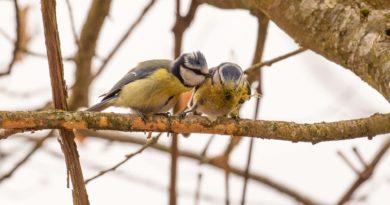 Des amours de petites bleues