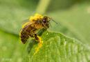 En pollen