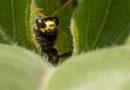 Le nectar invisible des guêpes